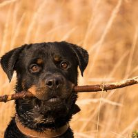 rottweiler with branch in the mouth
