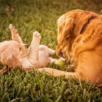 Golden retriever playing with a puppy