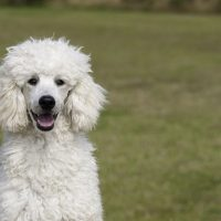 POODLE STARRING AT THE CAMERA