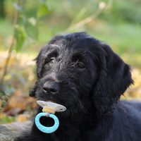 POODLE WITH A PACIFIER